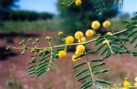 prickly-acacia-flower